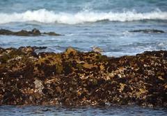 Bird on the reef (afagen) Tags: california pacificgrove asilomarstatebeach montereypeninsula asilomar beach pacificocean ocean tidepool bird