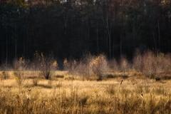 Glittery in the sun (Claudia G. Kukulka) Tags: tree baum trees bäume fall autumn herbst foliage laub forest woods wald irtenbergerwald guttenbergerwald pond teich swamp bog wetland moor painterly blutsee