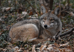 Eastern Coyote (aj4095) Tags: coyote canid animal nature wildlife forest outdoor ontario canada