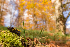 What a day to be an amphibian (Javier Ábalos) Tags: plitvice jezera croatia salamander urodela amphibian forest autumn tree otoño anture naturaleza wildlife javier abalos