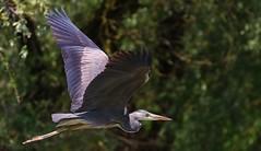 Grey Heron -Ardea cinerea - Danube Delta Romania (10) (Ann Collier Wildlife & General Photographer) Tags: greyheron ardeacinerea danubedelta romania inflight heron birds bird