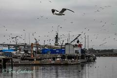 IMG_8298 (b_bev) Tags: montereybay monterey bay california usa wildlife sealife whales dolphins pelicans seals birdlife nature ocean sea