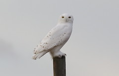 Snowy Owl  5170 (robenglish64) Tags: snowyowl