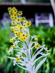 Flores de la sierra - Flowers of the sierra (Luis FrancoR) Tags: floresdelasierraflowersofthesierra flores flowers flower silvestres nariño colombia luisfrancor ngw ng ngc ngs ngd ngg ngo