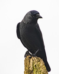 Crow (1) (Mal.Durbin Photography) Tags: wildlifephotography maldurbin naturephotography wildbirds forestfarm nature naturereserve