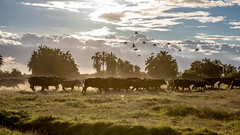 Amboseli-8456.jpg (ovg2012) Tags: africa safari amboselinationalpark nature travelphotographer capebuffalo canon büffel synceruscaffer animal kaffernbüffel wildlifephotography wildlifephoto wild wildlife reisefotografie kenya kenia afrika amboseli