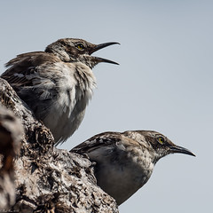 Just chatting (Fred Roe) Tags: nikond810 nikkorafs80400mmf4556ged nature wildlife birds birding birdwatching birdwatcher mockingbird galapagosmockingbird mimusparvulus galapagos