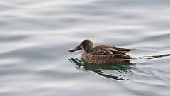 Northern Shoveler (Hen) (mausgabe) Tags: olympus em1 olympusm40150mmf28 olympusmc14 nyc centralpark thereservoir duck hen northernshoveler