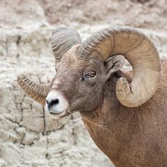Howdy ((JAndersen)) Tags: badlands badlandsnationalpark southdakota sheep bighornsheep wildlife animal nature d810 nikkor20005000mmf56 nikon