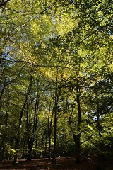 Beech trees by the North Downs Way 2 (Leimenide) Tags: north downs way beech trees green leaves autumn surrey countryside wood