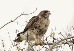 hawk (Dr Clontz) Tags: bird birdofprey hawk andrewscauseway brunswickgeorgia