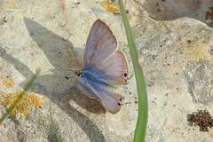 Lang's Short-tailed Blue (Leptotes pirithous) (Nick Dobbs) Tags: insect butterfly langs short tailed blue leptotes pirithous malta bird flower macro grass ikħal taddenb qasir