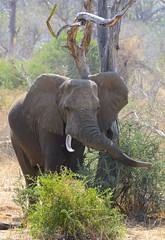 _DSC9676 (acomb) Tags: tanzania roadtrip elephant ruaha tandala