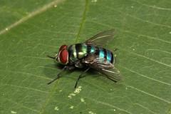 Diptera sp. (Fly) - Entebbe, Uganda (Nick Dean1) Tags: animalia arthropoda arthropod hexapoda hexapod insect insecta diptera uganda entebbe lakevictoria africa