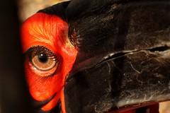 Eye of a Southern ground hornbill (libra1054) Tags: yeux augen eyes occhi olhos ulls ojos southerngroundhornbill cálaoterrestresureño bucorvedusud bucorvocafro südlicherhornrabe macro closeup