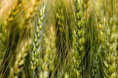 Another Mystery Wheat Variety (Bracus Triticum) Tags: another mystery wheat variety アルバータ州 alberta canada カナダ 8月 八月 葉月 hachigatsu hazuki leafmonth 2018 平成30年 summer august flora