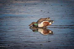 Mud Walkers (dngovoni) Tags: action autumn background bird bombayhook delaware ducks fall feeding northernshovelers water wildlife