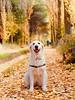 Duna y la acequia (Anxo Becerra) Tags: golden goldenretriever perro perrofeliz otoño acequia lagunadeduero