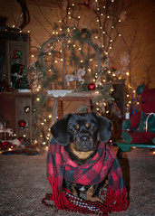 Charlie Models (Mulewings~) Tags: charlie posing christmasdecorations mydog dogsiknow christmaschair christmascharlie cards fun littledog pekenhund