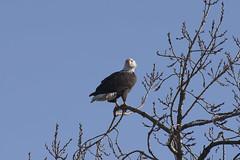 Bald Eagle (zfwaviation) Tags: bald eagle bird birds prey willamette valley oregon or albany tangent halsey brownsville highway 20 i5