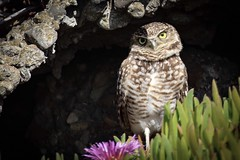 Burrowing owl peeks out! (EXPLORE) (avilacats) Tags: seacliff autumnafternoon burrowingowl