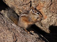 Merriam's Chipmunk on rocks1 Cuyamaca Woods Julian CA Dec 9 2018 (Robyn Waayers) Tags: merriam'schipmunk tamiasmerriami neotamiasmerriami chipmunk chipmunks robynwaayers