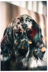 053_24 (jimbonzo079) Tags: darko laverack english setter pet dog animal ilioupoli athens greece 2017 canon ae1 fd 50mm f18 agfa hdc 100 expired lens slr 135 film 35mm negative analog color colour hellas old vintage retro home art portrait greek gr light double exposure scan konica minolta dimage dual iv canonae1 fd50mmf18 agfahdc100 agfahdc doubleexposure konicaminoltadimagescandualiv expiredfilm englishsetter