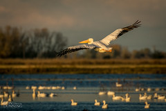 American White Pelican (Pelecanus erythrorhynchos) (Don Dunning) Tags: americanwhitepelican animals birds california canon7dmarkii canonef100400mmisiiusm flight merced mercednwr nationalwildliferefuge pelecanuserythrorhynchos pelican unitedstates