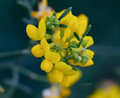 Ramillete amarillo (rosaadda) Tags: macrofotografía macro flowers flor flores nikon 5300 naturaleza nature fantasticnature nikonflickraward
