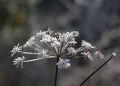 Crisp (uekman) Tags: nikon d70 winter macro makro frost