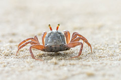 little cute round crab on sand (elmanther123) Tags: animal crab claws tropical shell beach biology ecology wild wildlife aquatic creature raw seafood isoloated one ocean sandy nipper pincer sandt natural seascape scenic bay aggresive alert critter hermit closeup outdoor crustacean
