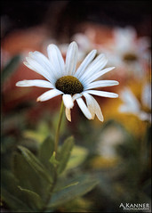 Garden Daisy... (angelakanner) Tags: canon70d carlzeiss montauk daisy white bokeh closeup garden longisland