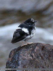 Little Forktail (Enicurus scouleri) (gilgit2) Tags: avifauna birds canon canoneos7dmarkii category fauna feathers geotagged gilgit gilgitbaltistan imranshah jutial littleforktailenicurusscouleri location pakistan species tags tamron tamronsp150600mmf563divcusd wildlife wings gilgit2 enicurusscouleri