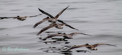 IMG_8405 (b_bev) Tags: montereybay monterey bay california usa wildlife sealife whales dolphins pelicans seals birdlife nature ocean sea