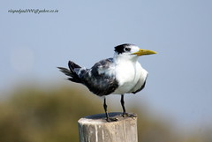 IMG_3164 Greater Crested Tern (Thalasseus bergii) (vlupadya) Tags: greatnature animal bird aves fauna greater crested tern thalasseus kundapura karnataka