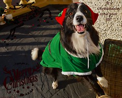It's Christmas Treat you Elf (ASHA THE BORDER COLLiE) Tags: funny christmas elf picture border collie dog ashathestarofcountydown connie kells county down photography
