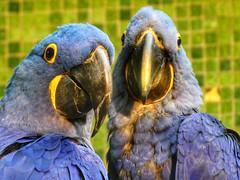 Hyacinth Macaw (sander_sloots) Tags: hyacinth macaw ara parrot hyacintara bird vogel papegaai diergaarde blijdorp rotterdam zoo anodorhynchushyacinthinus blue blaauw lumix panasonic dctz90 dierentuin rivierahal rivièrahal