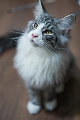 『貓貓喵丫』大佬,別那麼嚴肅嘛,你才4個月多的寶寶😂😂😂 #sel55f18z #cat #sonya7iii #catsofinstagram #mainecoon #mainecooncat #緬因貓 #mainecoonlovers (Joey0124) Tags: mainecoon mainecooncat sonya7iii sel55f18z cat catsofinstagram 緬因貓 mainecoonlovers
