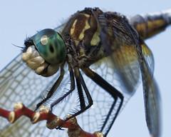 DragonFly_SAF4076_DxO-2 (sara97) Tags: odonata copyright©2018saraannefinke dragonfly insect missouri mosquitohawk nature photobysaraannefinke predator saintlouis towergrovepark