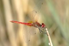 La Janda - Tarifa (Marc ALMECIJA) Tags: insecte insect libellule dragonfly sony rx10m3 outdoor outside wildlife espagne andalousie cadiz tarifa