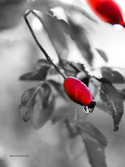 @rossoselettivo (falcinellilaura2) Tags: rosso red amore fashion italy bellezza natura rouge mothernature fotografia picoftheday love flowers arte beautiful colori colors biancoenero blackwhite rossoselettivo