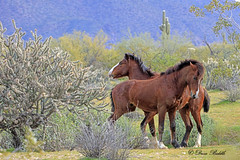 Brotherly love 2 (littlebiddle) Tags: arizona saltriver wildhorses nature wildlife horse mammal equine