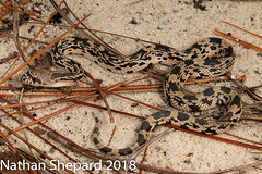 Pituophis melanoleucus (Nathan Shepard) Tags: pituophis melanoleucus northern pine snake nonvenomous herp herpetology biology ecology natural history reptile black white tan sandhills north carolina nc