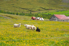 On the road in Iceland (jmarnaud) Tags: iceland 2018 summer family road sea mountain countryside cloud sky sheep animal