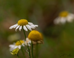 Winter sprouting Mayweed (SarahW66) Tags: mayweed plant weeds natural naturephotography britishnature flora macroflower canon80d sigma105mm sigma sigmamacro macrolens macrophotography macro canoneos80d