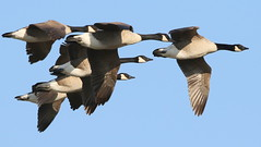Canada Geese-7D2_0392-001 (cherrytree54) Tags: canada goose geese rye harbour canon sigma 7d 150600 east sussex