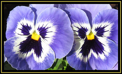 Perfect Pansies (M E For Bees (Was Margaret Edge The Bee Girl)) Tags: pansies flowers flowering blue garden bright black white yellow outdoors two growing sun autumn petals flowerscolours