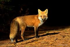 In the spotlight.. (Earl Reinink) Tags: fox easternredfox spotlight forest woods animal wild earl reinink earlreinink euideadara