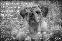 in loving memory (mailo mops) Tags: mops tier hund dog pug shooting tierportrait pet trauer