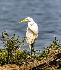 Great White Egret (will139) Tags: greatwhiteegret aalba ardeaalba ardeidae bird avian ornithology eaglecreekpark canon tamron
